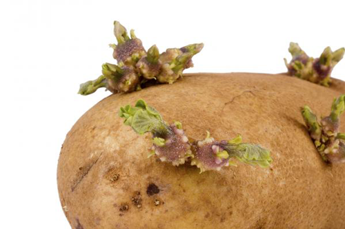 Signs That Potatoes Have Gone Bad